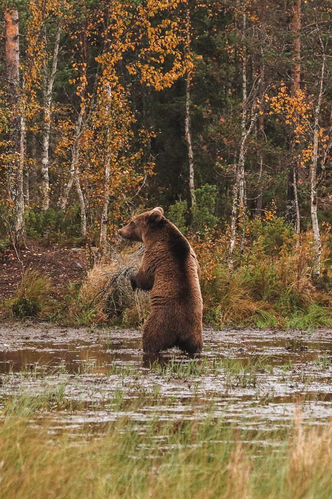 beren zien in fins lapland