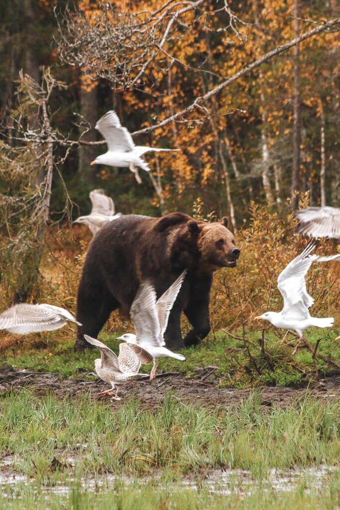 beren zien lapland