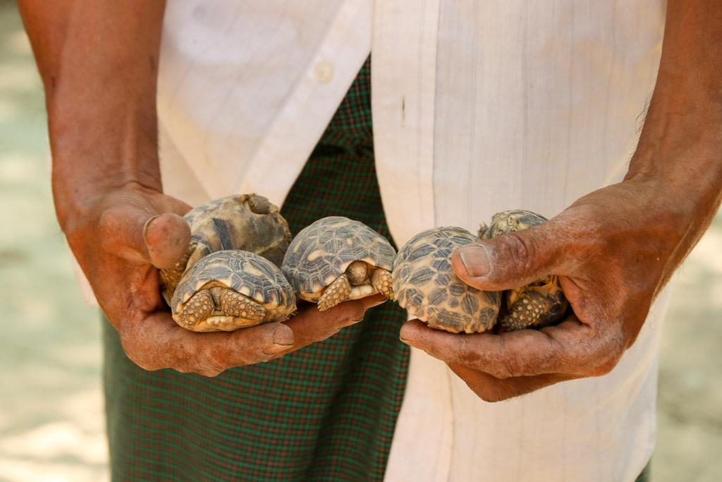 schildpadden myanmar dieren