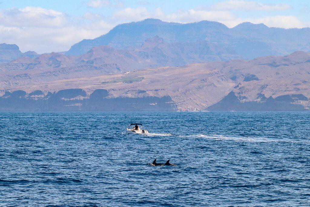 dolfijnen canarische eilanden