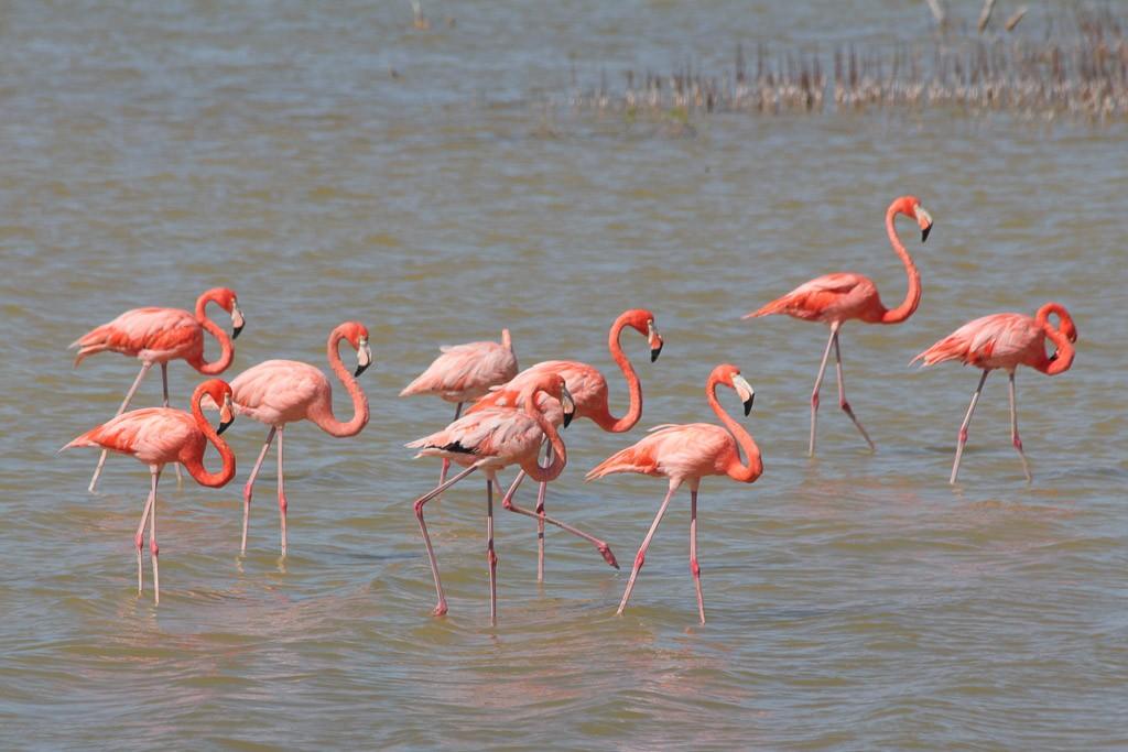 flamingo's zien yucatan mexico