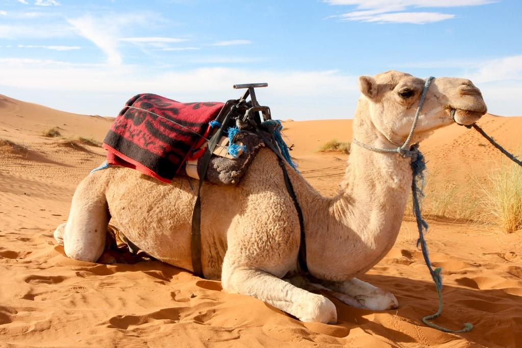 kamelentocht marokko duinen