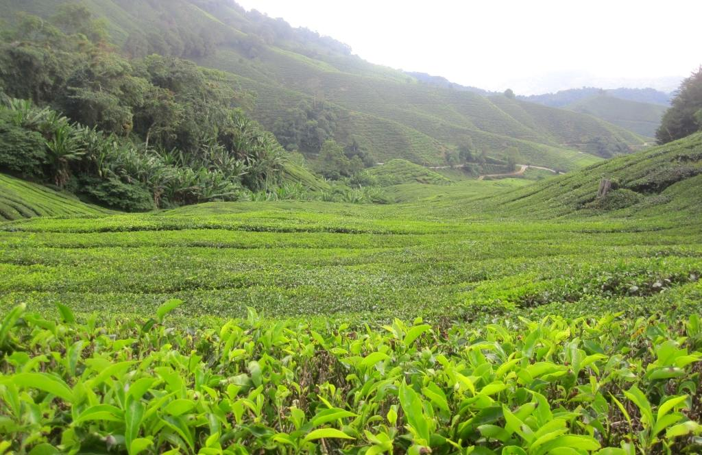Cameron Highlands, theeplantages