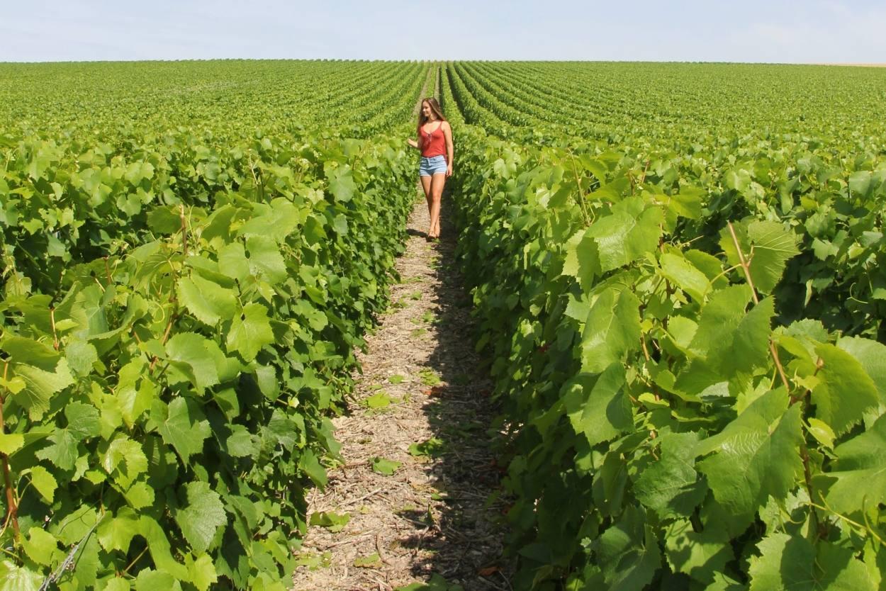Wijnvelden Champagne Frankrijk